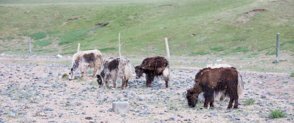 A Final Thought - Baby Yaks!