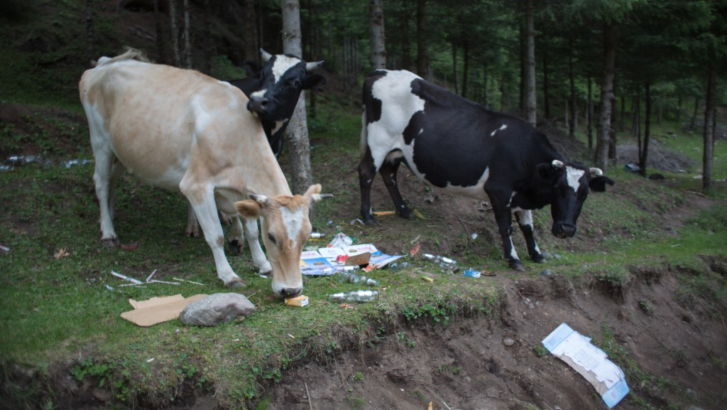 Cows in the trash